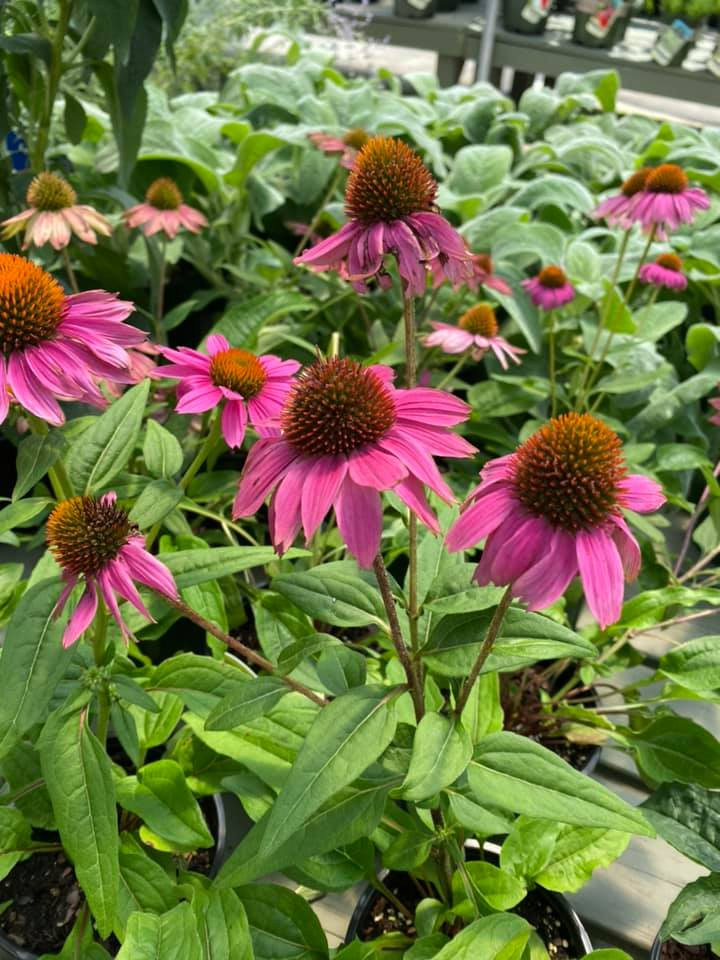 Coneflowers from Windwood Hollow Park