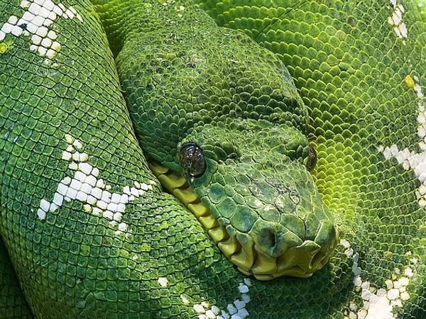 Ее страсть может достигнуть пика и полностью вымотать змею, довести ее до нервного истощения.