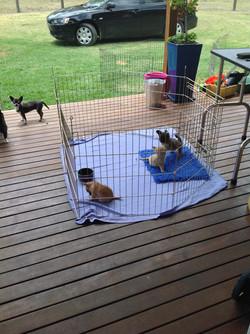 Furrari Puppies 6