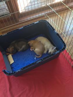 Furrari Puppies 1