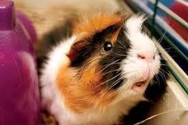 guinea1.jpg