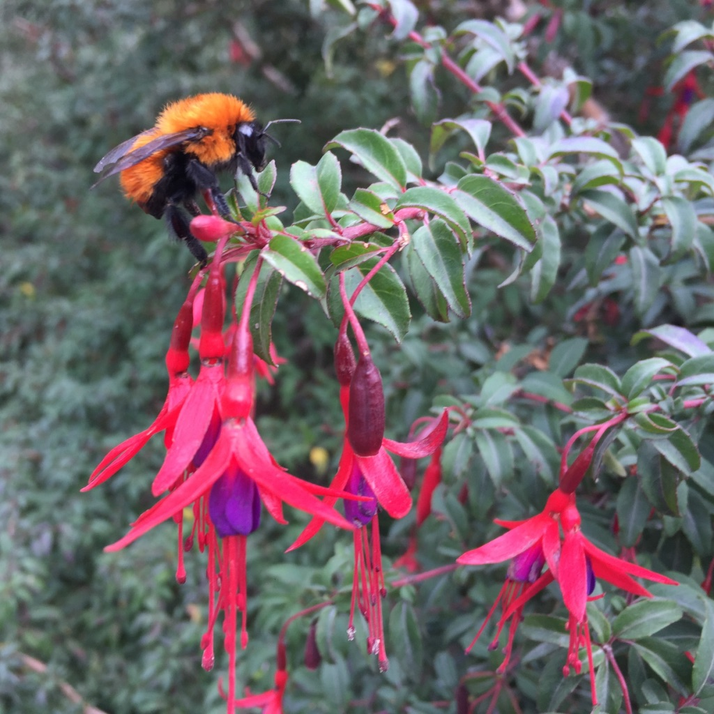 Dahlbomii worker on Fuchsia.jpg
