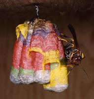 Rainbow Polistes metricus nest.jpg