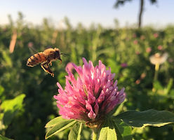 Bee on clover cropped.jpg