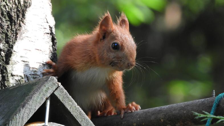 Ons Huis eekhoorn