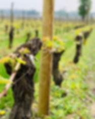 vigne-cepage.jpg