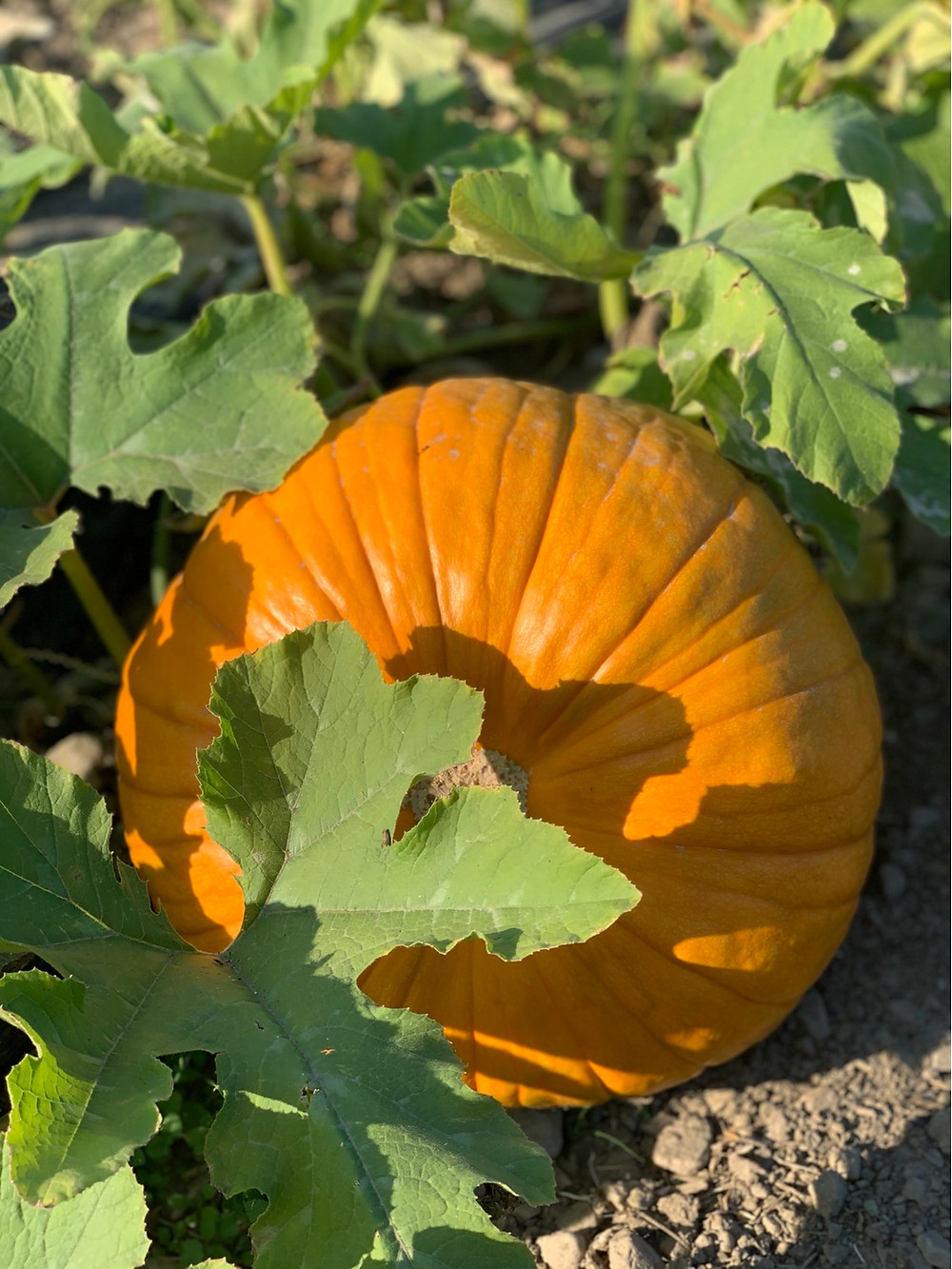 Pumpkin growing in the garden