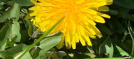 Dandelion Age Spot Oil