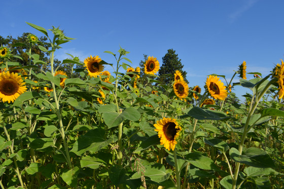 Natural Beauty with Sunflowers
