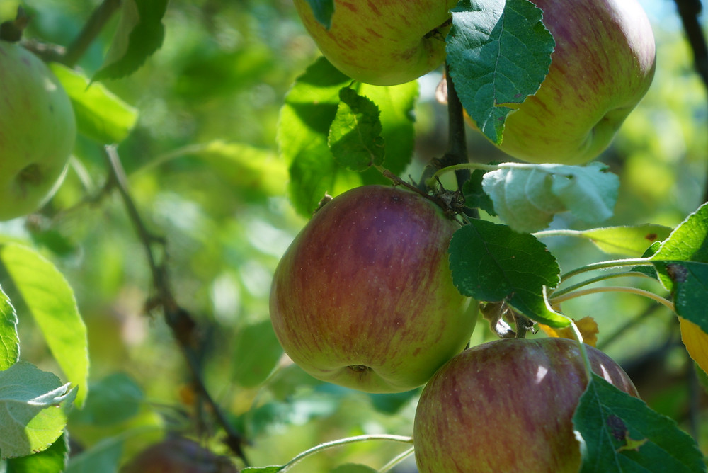 Apples in the Fall ready to be picked