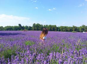 England Lavender Field