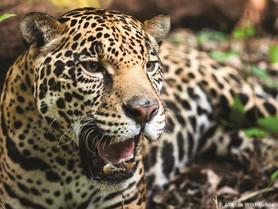 Exigen medidas urgentes para proteger la población de Jaguar en México