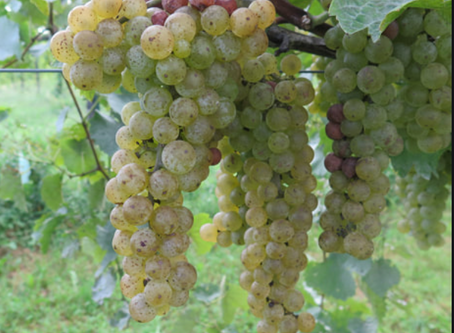 Vidal Blanc- the grape, the wine, the food