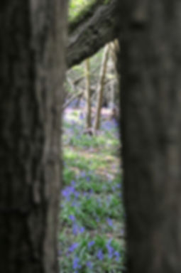 Spying on bluebells.jpg