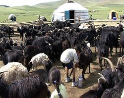 Elevage Mongolie