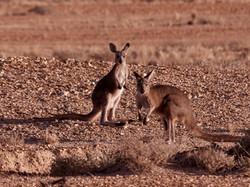 Oceanie - Australie - Kangourous