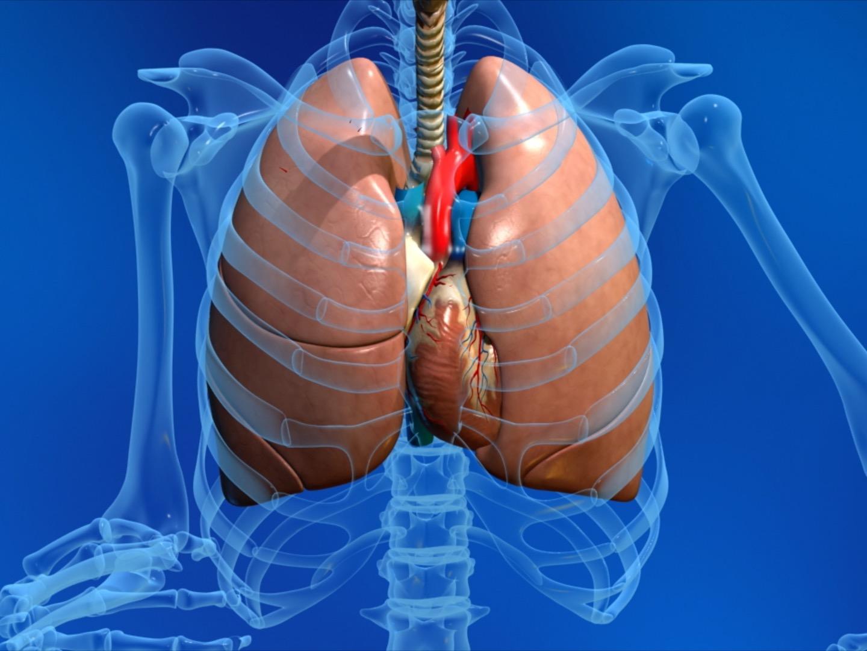 Animation Poumon Coeur