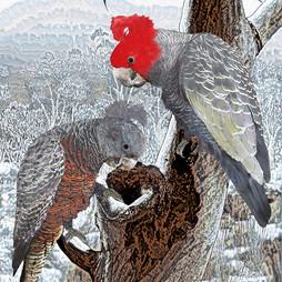 Rodney Usback - Gang-Gang Cockatoos DIGITAL photography.jpg