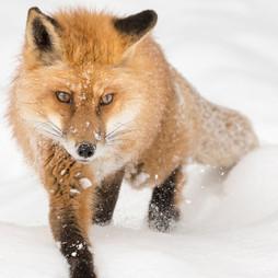 Debbie_McCullissRed_Fox_in_Winter_24_x_16_acrylic.jpg