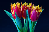 Tulip Celebration.jpg