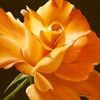 Love Is a Rose.jpg