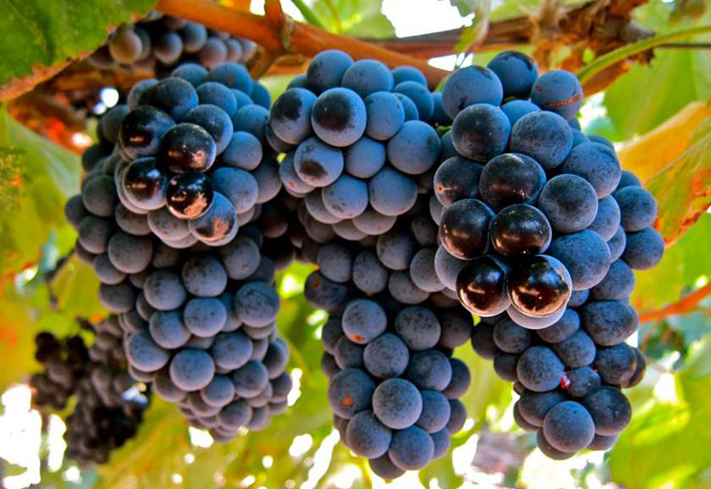 Souzão Grape in South Africa