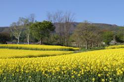 糠地の風景14菜の花