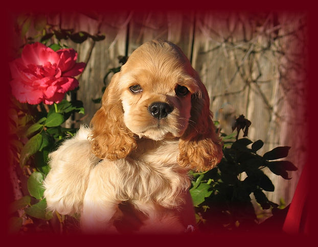 Beautiful red cocker spaniel puppy