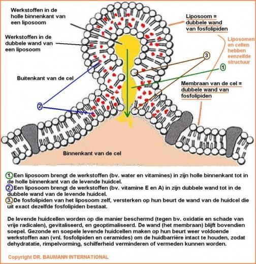 liposoom2