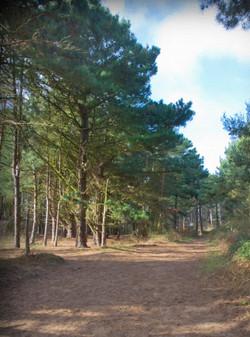 Pine Woods of Holkham