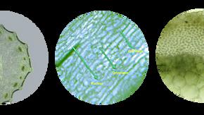 Cellular Structure of Celery