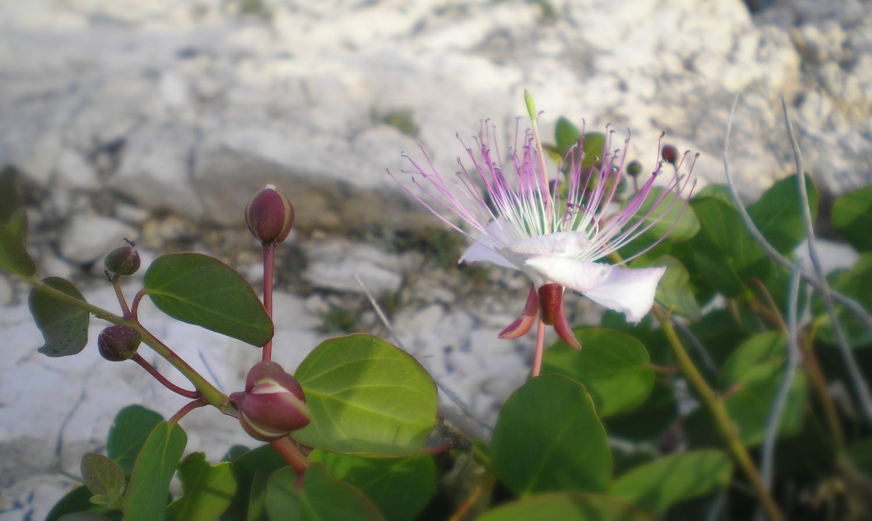 cvijet kapari