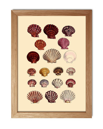 Affiche dessin coquillages collection - Sea shells - Marseille