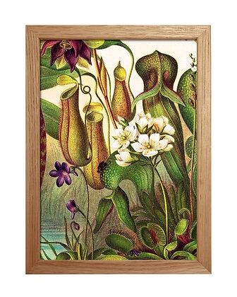 Illustration vintage Nepenthaceae | Trois Fenêtres à Marseille