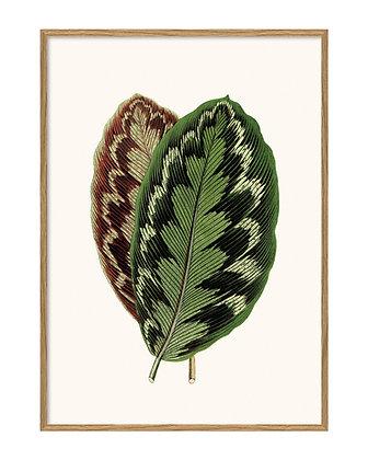 Affiche feuille tropicale Calathéa Medallion - Poster feuille tropicale - Marseille