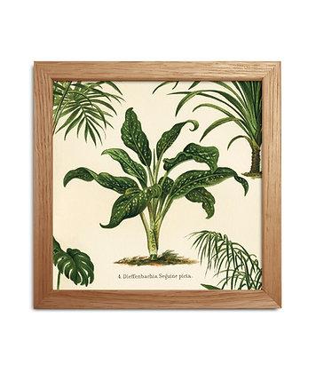 Image ancienne botanique - Dieffenbachia Seguine | Trois Fenêtres