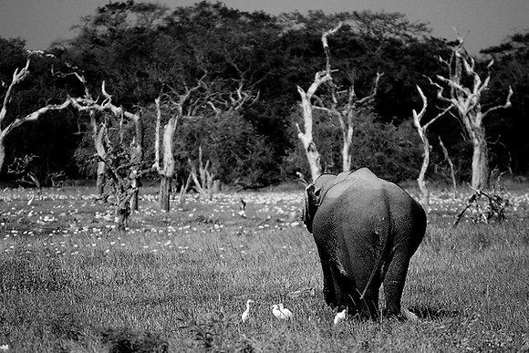 Photographie Éléphant de dos au Sri Lanka - 2016 ©Aida Rojas