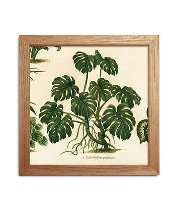 Dessin Monstera - Philodendron Pertusum   Trois Fenêtres