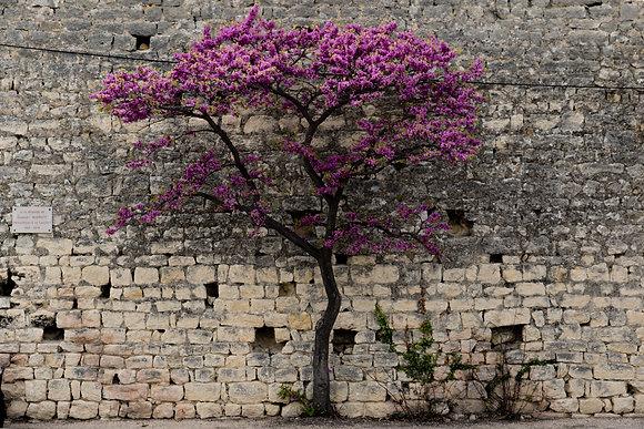 Arbre près du mur - Crestet près de Vaison La Romaine