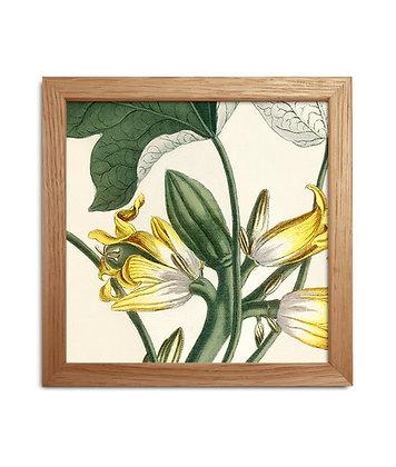 Dessin botanique ancien - Yellow delight | Trois Fenêtres
