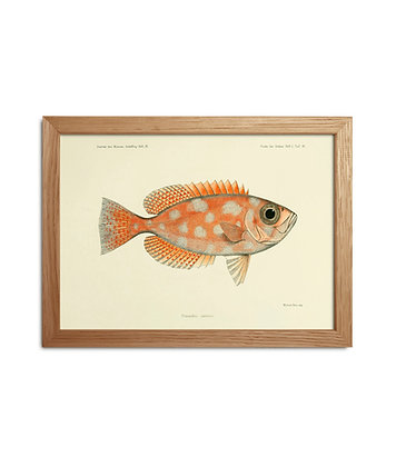 Dessin ancien de poisson exotique Priacanthus Carolinus | Idée cadeau original