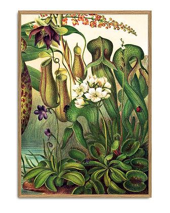 Affiche vintage plantes carnivores - Nepenthaceae - Trois Fenêtres