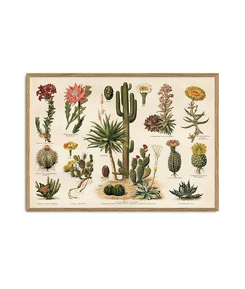 Affiche vintage Cactus - Déco planche pédagogique botanique | Trois Fenêtres