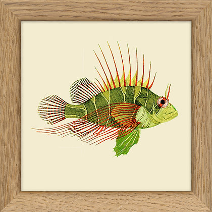 Affiche rascasse volante - Lionfish Print - Déco curiosités - Trois Fenêtres à Marseille