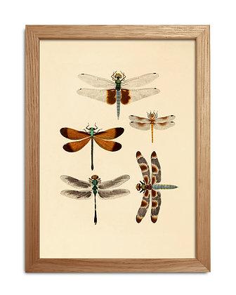 Illustration de libellules type cabinet de curiosités   Trois Fenêtres Marseille