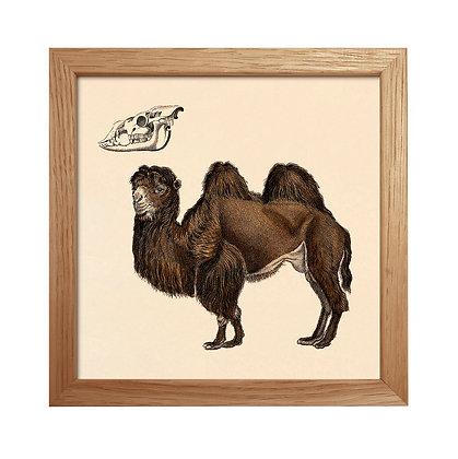 Camel - Illustration vintage chameau 2 bosses - Trois Fenêtres Marseille