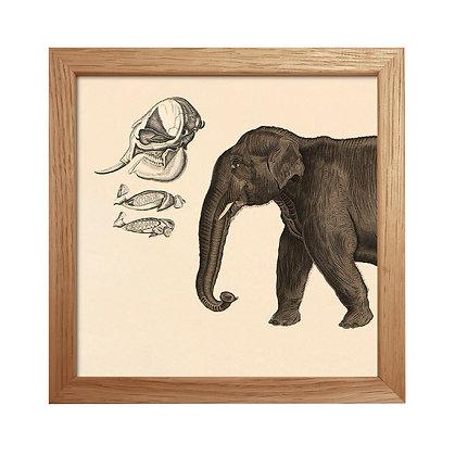 Illustration ancienne Elephant - Déco cabinet curiosités - Marseille