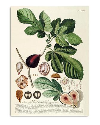 Affiche vintage figue et figuier - Poster fruits pour déco cuisine - Marseille