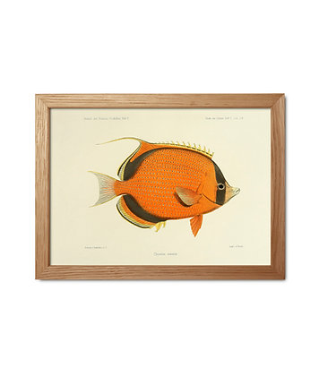 Illustration vintage poisson Chaetodon semeion | Dybdhal - Trois Fenêtres
