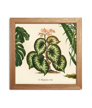 Planche botanique du Begonia rex - cadre images anciennes | Trois Fenêtres